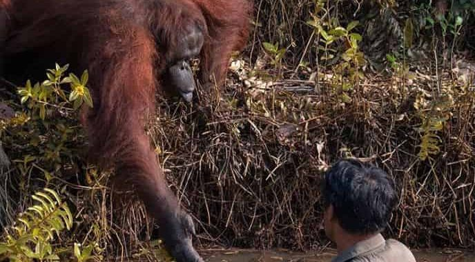 Heartwarming Pic Captured By Photographer Of A Wild Orangutan Offering A Helping Hand To A Man Stuck In Snake-Infested Waters!