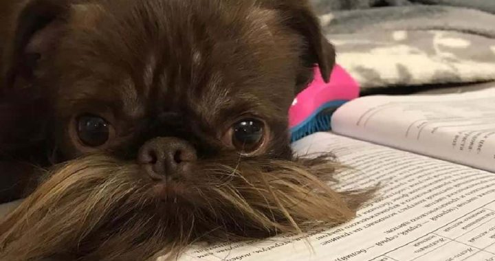 Dog's Adorable Beard Earn's Him The Pet Name 'Chewbacca'