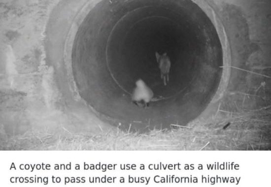 Watch An Impatient Coyote Spurring His Slow-Moving Badger Pal Up So They Can Check Out A Tunnel Together!