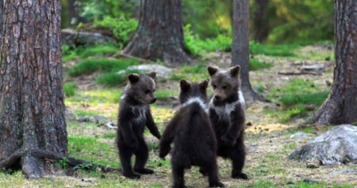 Teacher Captures Bear Cubs Dancing In Finland Forest, And That's Some Unusual Photographs You Will See Today!