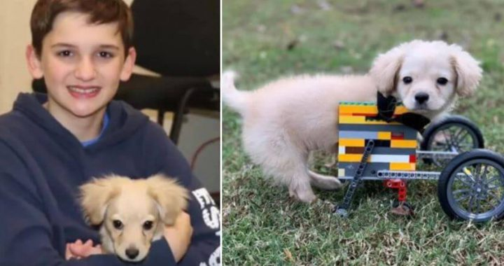Twelve-Year-Old Lad Makes Lego Wheelchair For Abandoned Two-Legged Pup, And That Is So Much Helpful And Comfy!