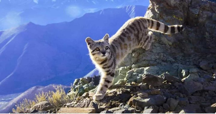 Andean Mountain Cats Are Smaller, Beautiful, And Unluckily, Endangered!