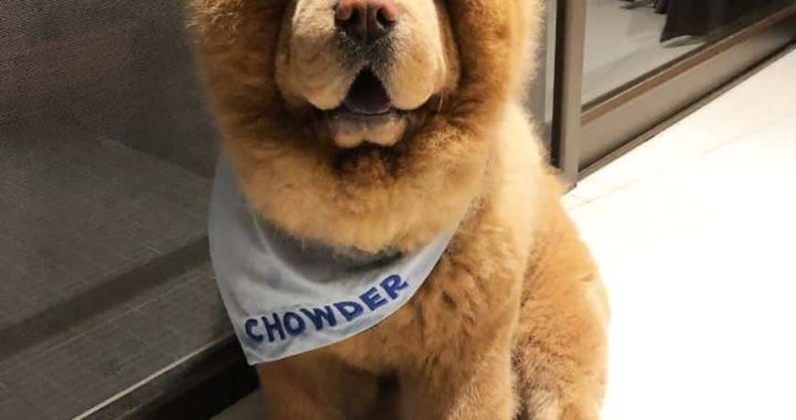 This Cuddly Chow Chow Is So Dang Cute That I Wish I Could Reach Through My Screen To Pet Him!