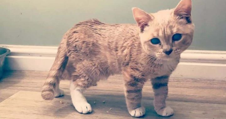 Munchie Has A Rare Form Of Dwarfism That Will Keep Him Kitten-Sized Forever, But That Doesn't Mean She Can't Be The Internet Celebrity, Right?