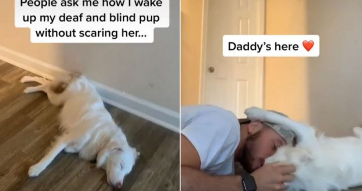 Owner Reveals How He Wakes His Deaf And Blind Pup, And My Heart Just  Split!