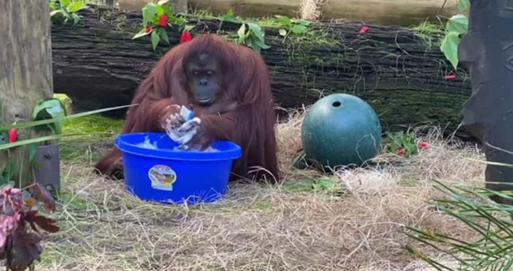 34-Year-Old Orangutan Demonstrates Her Impeccable Hand-Washing Skills, And That's Goosebumps For Me!