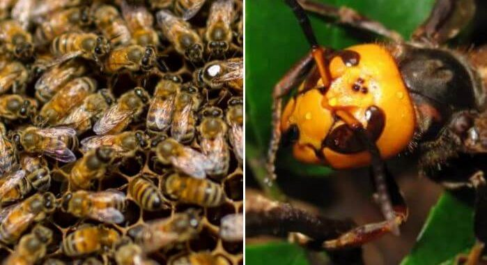 Murder Hornets Are Bad, But Japanese Bees 'Cooking' Them to Death Are Really Good!