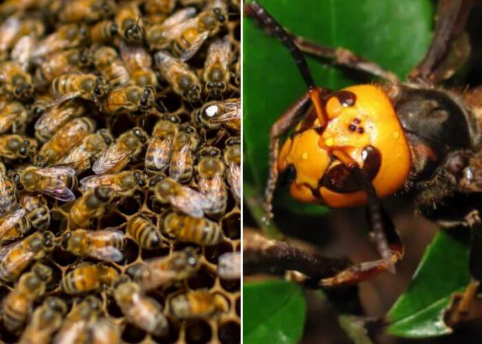 JAPANESE-BEES-COOK-HORNETS-TO-DEATH