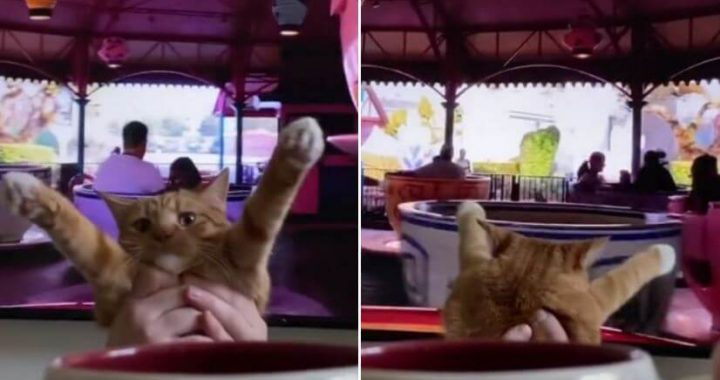 TikTok Of A Cat Virtually Riding Disney's Mad Tea Party Attraction, And That's The Best CATISH Thing You Will See Today!