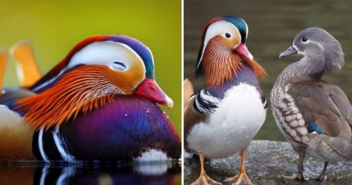 Beautiful Mandarin Duck Is The Most Stylish Bird In The World And Has Been Sighted In Canada Recently!