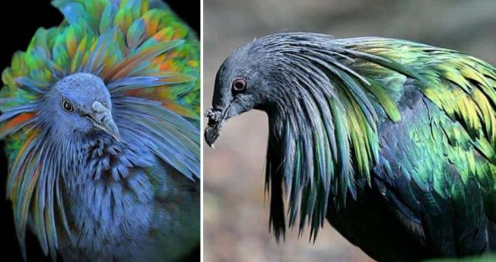 Magnificent Nicobar Pigeons Are Considered To Be The Country Cousin Of The Extinct Dodo!