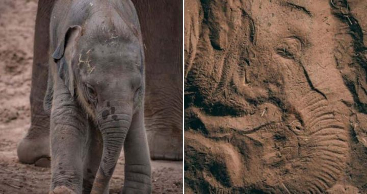 A Young Sleeping Elephant Leaves Incredible Impressions Of Its Face In The Sand At Chester Zoo!