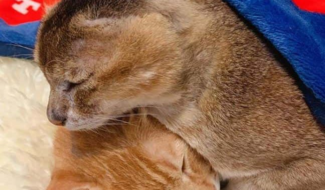 This Cat Potato Who Lost His Ears Gets A Homie Named Horlick!