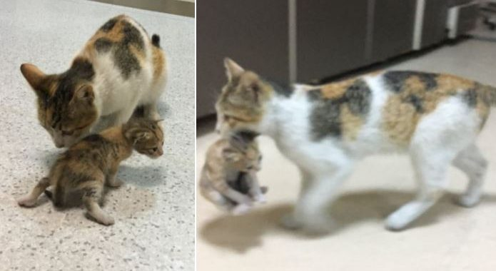 Mother Cat Refused To Let Her Ill Kitty Down And Brought Her To The Hospital Herself, And Yes, Both Of Them Are Just Fine!